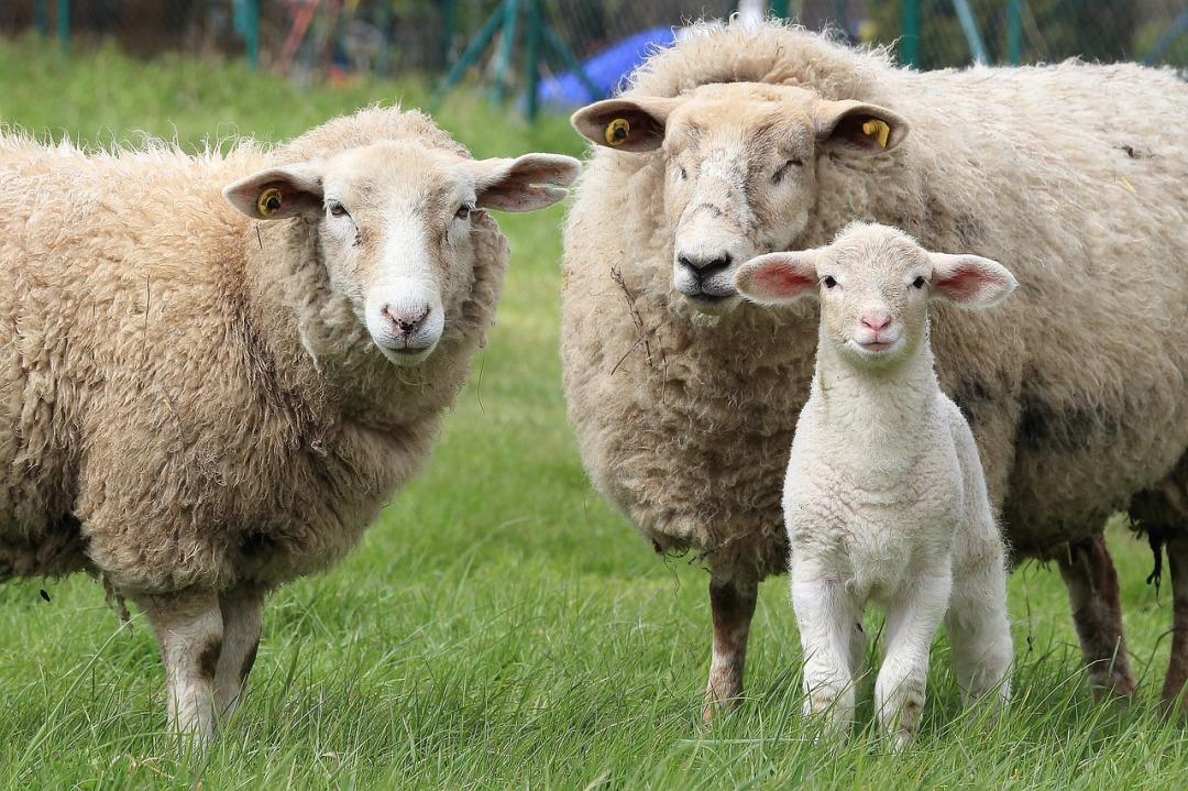 sheep-1547720_1280